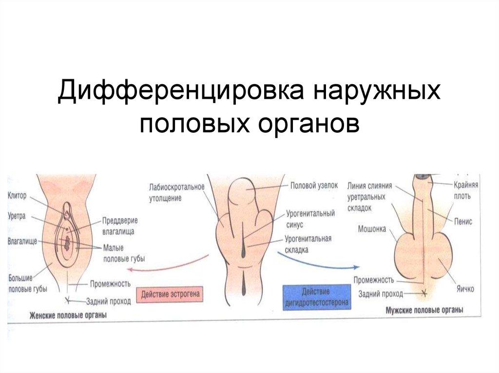 Гермафродит половых органов фото