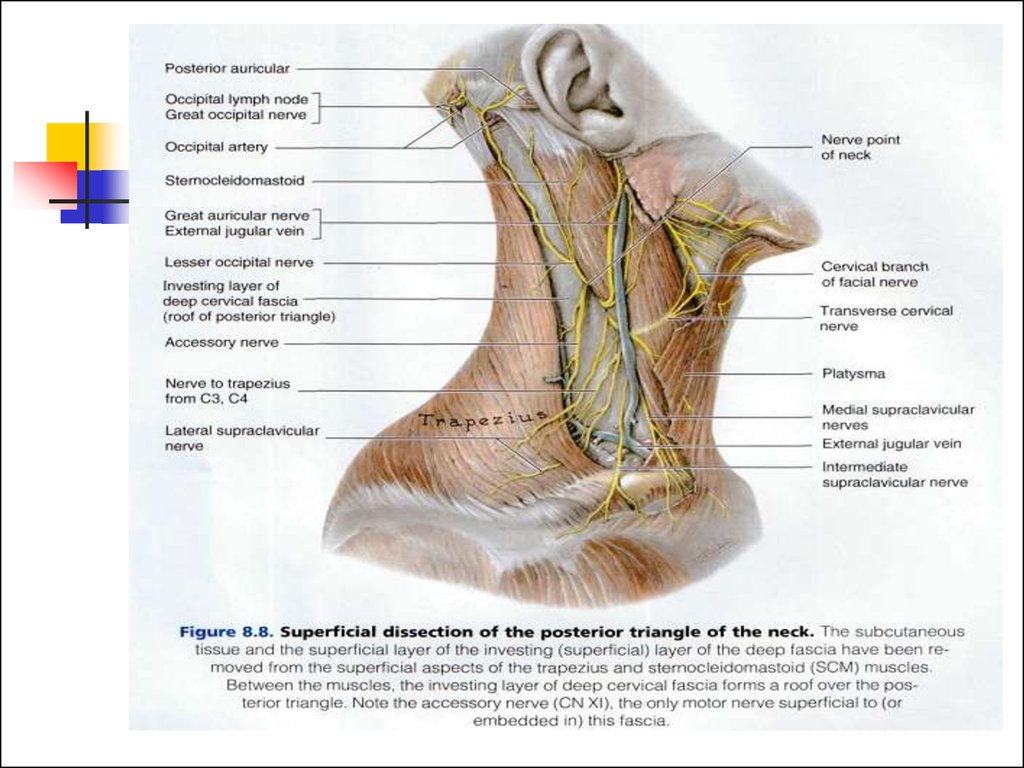 Anatomy Of Neck Triangles Choice Image - human body anatomy