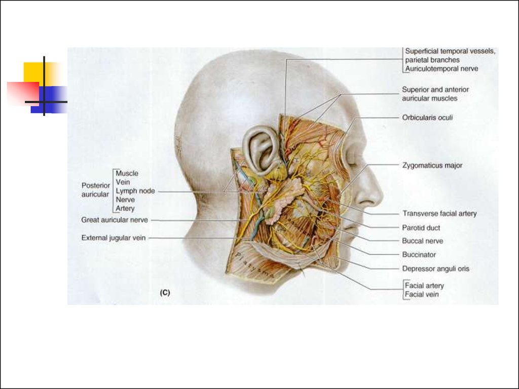 Head and neck anatomy ppt