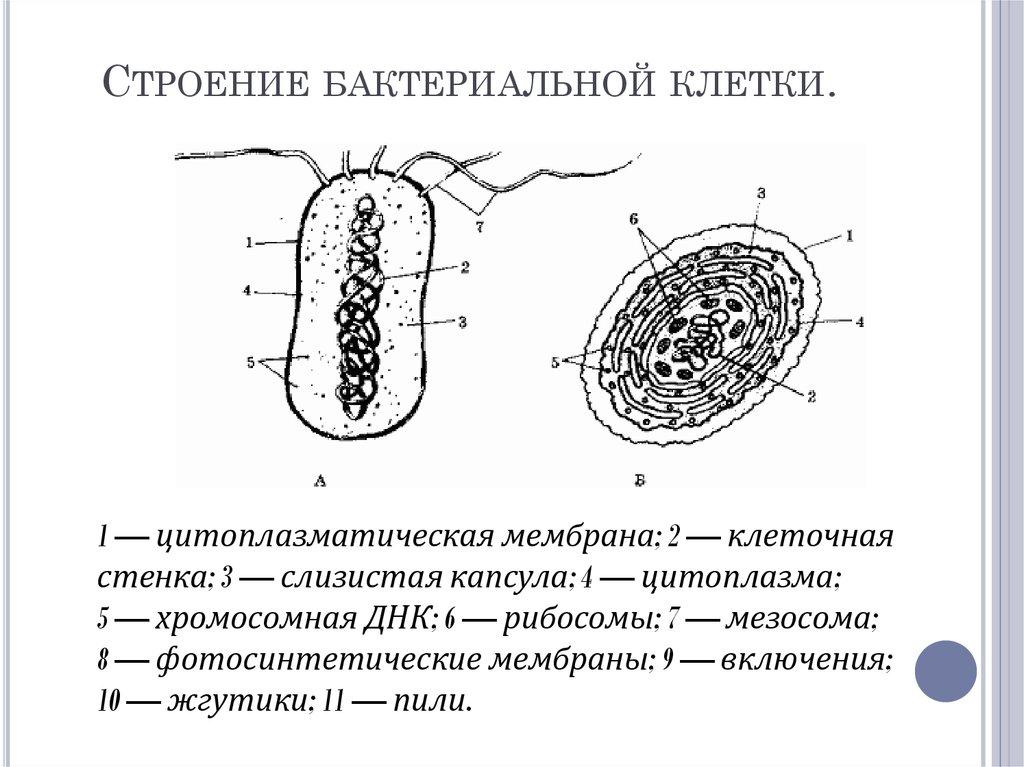 бактерии с тонкой клеточной стенкой картинки
