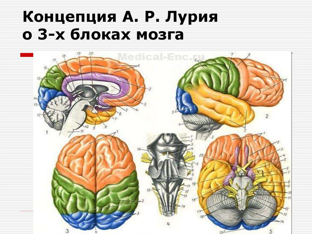 три блока мозга картинка поможем