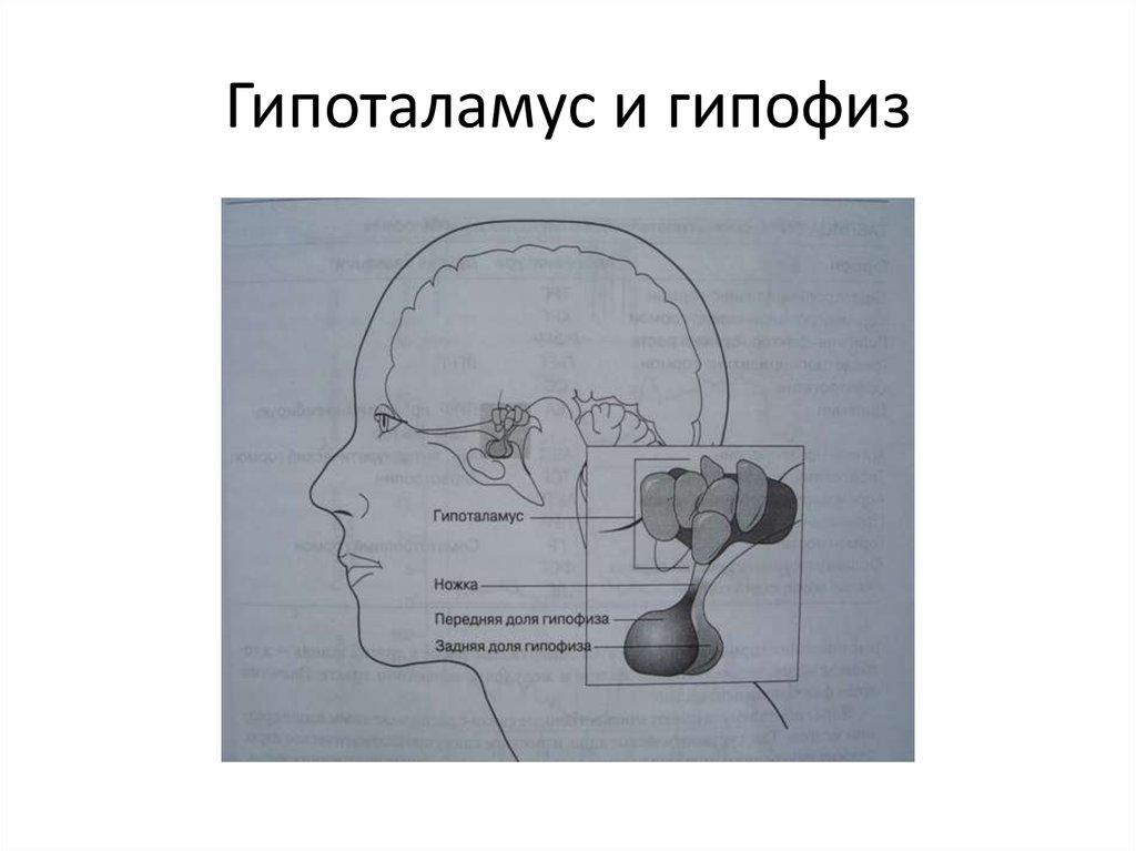 картинки гипофиза гипоталамуса