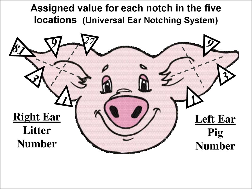 ear notch pig