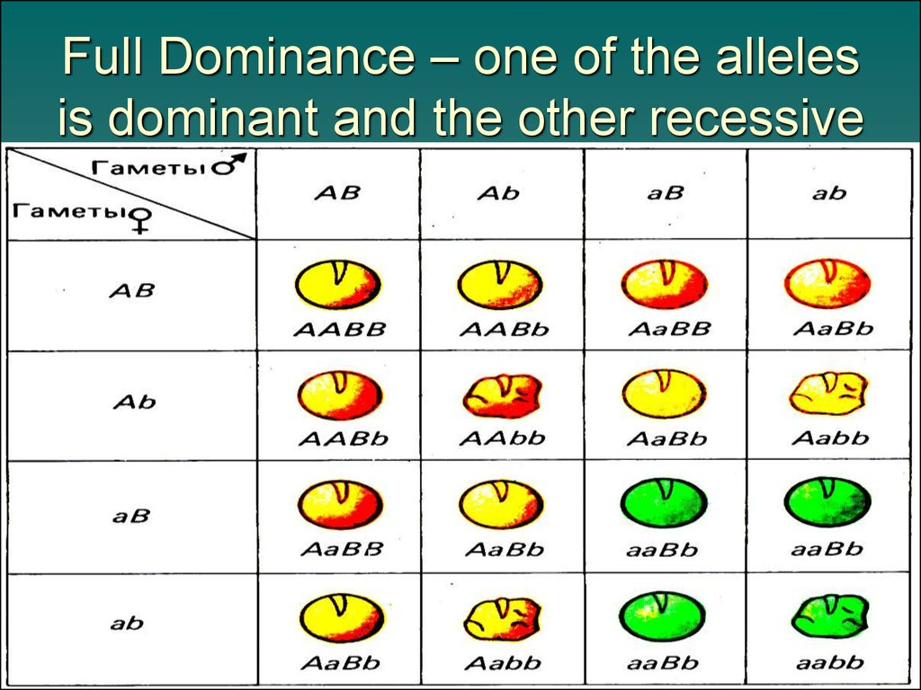 Full Dominance – one of the alleles is dominant and the other recessive