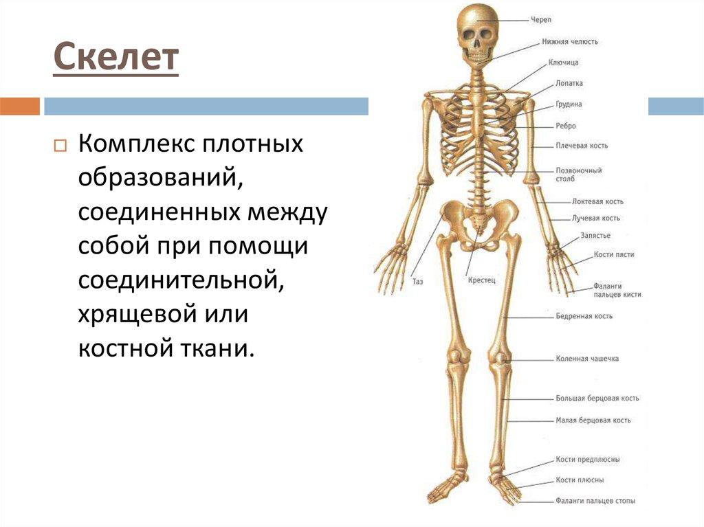 Какие частям тела относятся костно суставная система разрыв медиальной коллатеральной связки коленного сустава