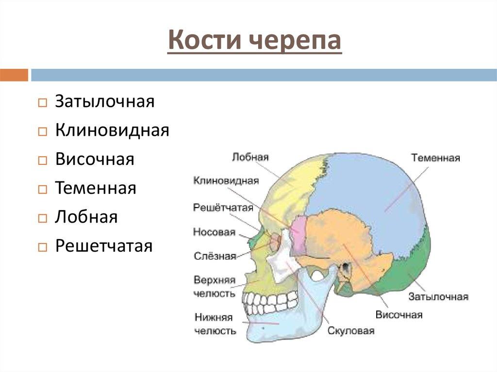 Кости черепа картинках
