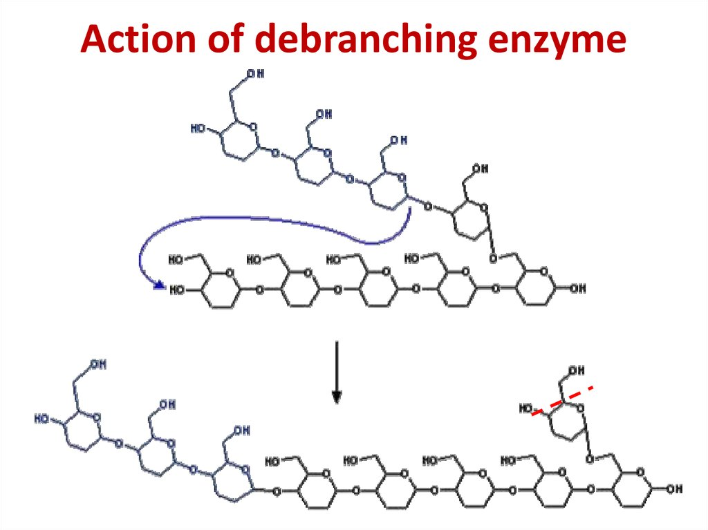 Action of debranching enzyme