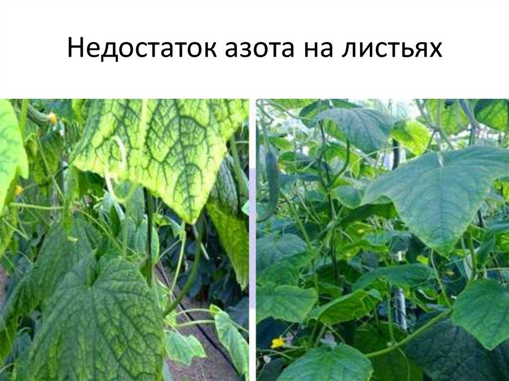 нужно дефицит питания томатов и огурцов в картинках сочетаются