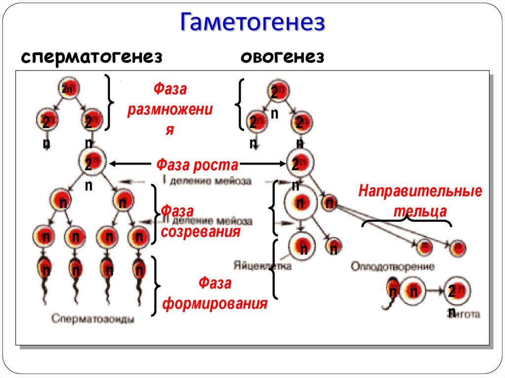 Гдз гаметогенез