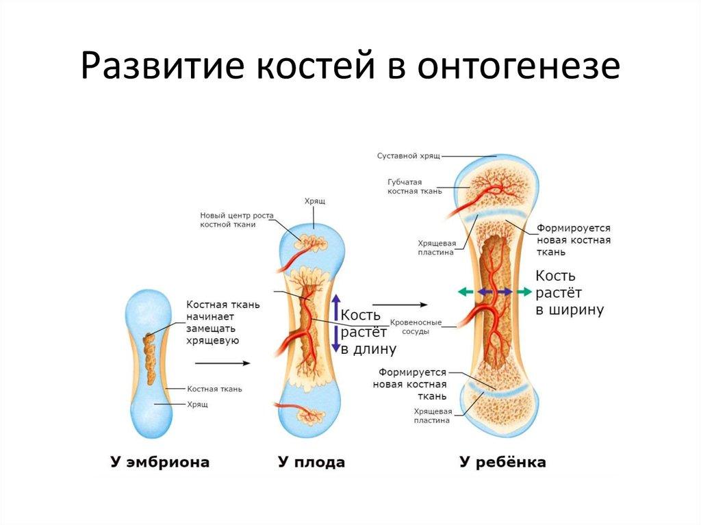 Рост и опорно-двигательного развития костей.стадии человека.состав функции аппарата