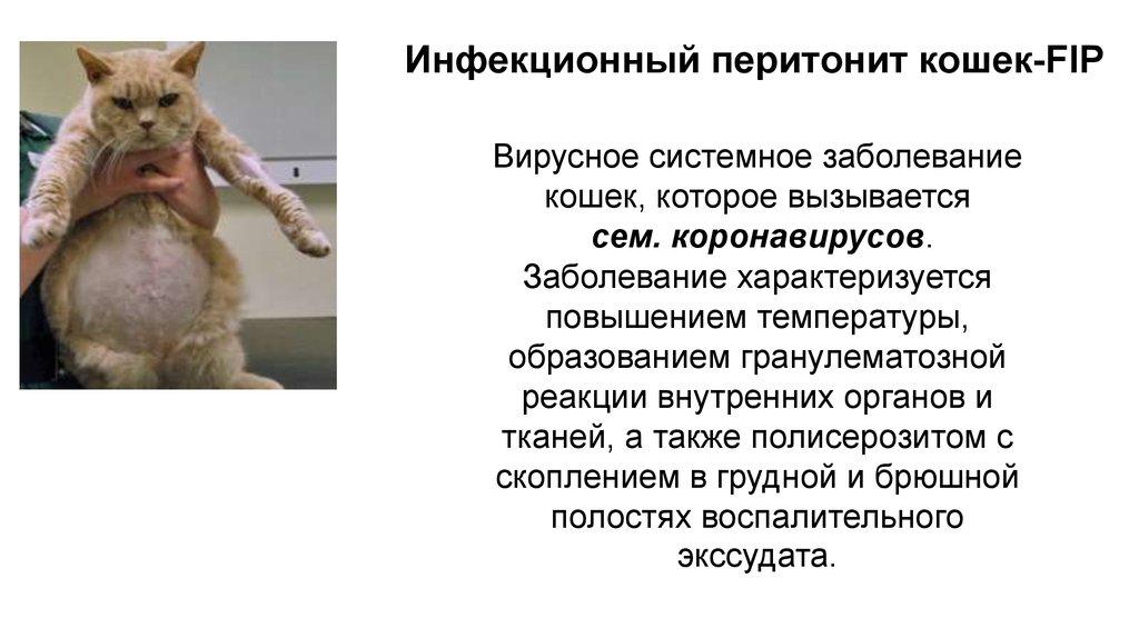 коронавирусный перитонит кошек лечение