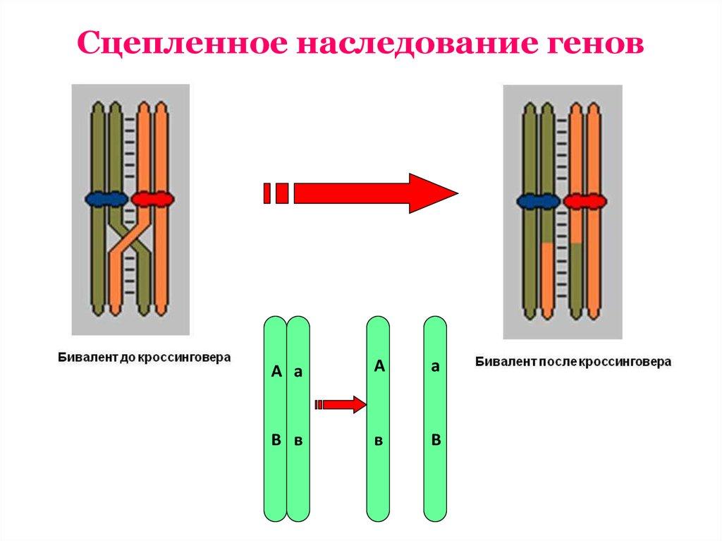 сцепленное наследование генов и признаком