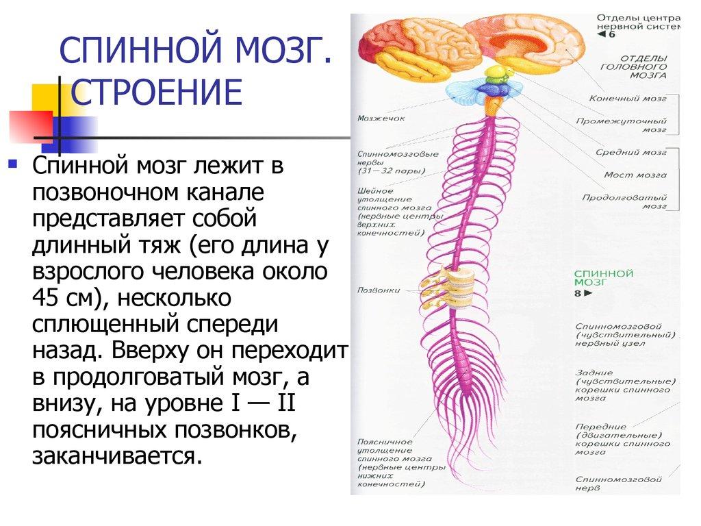 За что отвечает спинной мозг человека