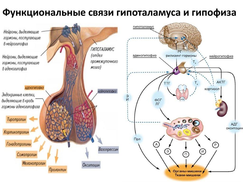 выбрать регуляция гормонов картинки кузьмина, как знаменитый