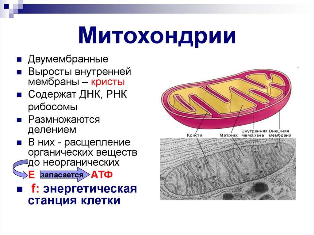 the mitochondrion Mitochondrion is a definitive, high profile, peer-reviewed international research journal the scope of mitochondrion is broad, reporting on basic.