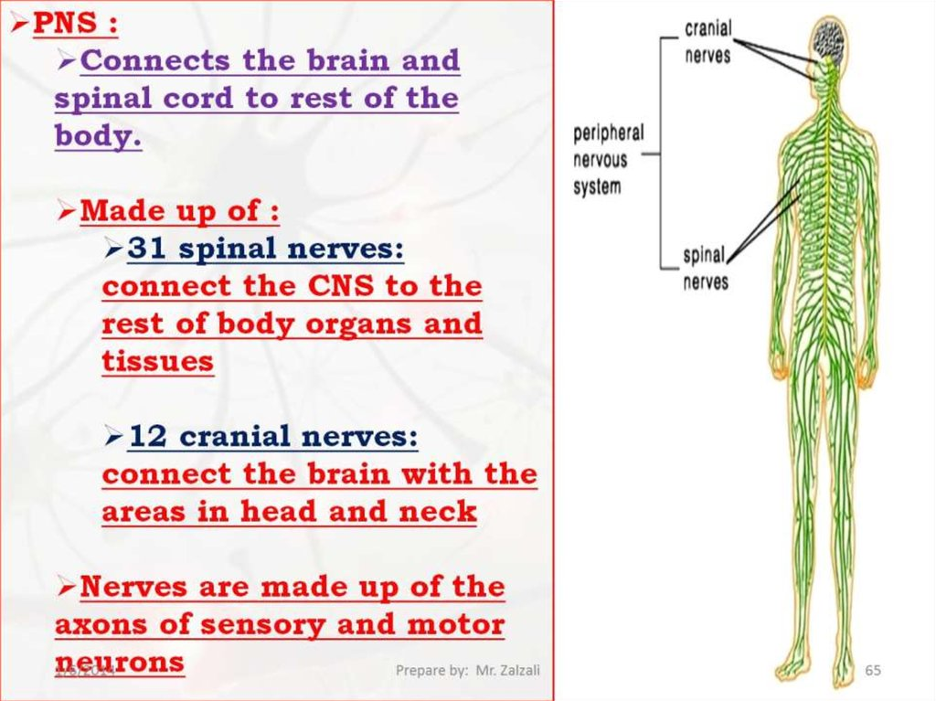 Structures Of The Nervous System   Chapter 41  Section 2