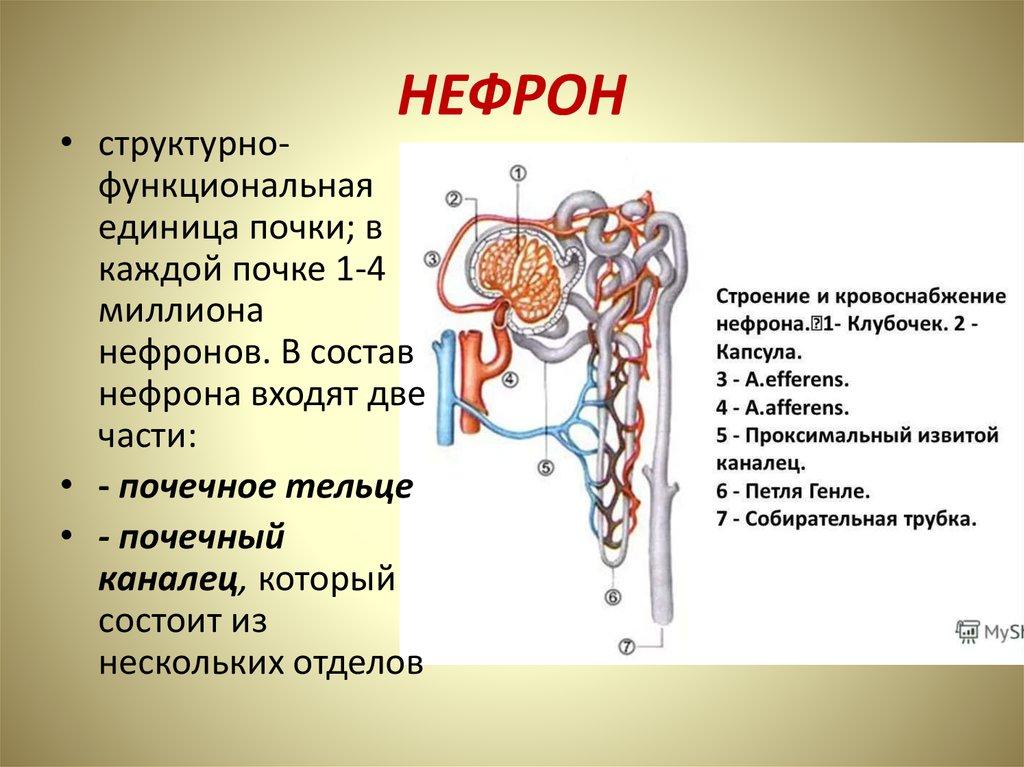 поздравительных структура нефрона картинка заказе изделия, изготовленного