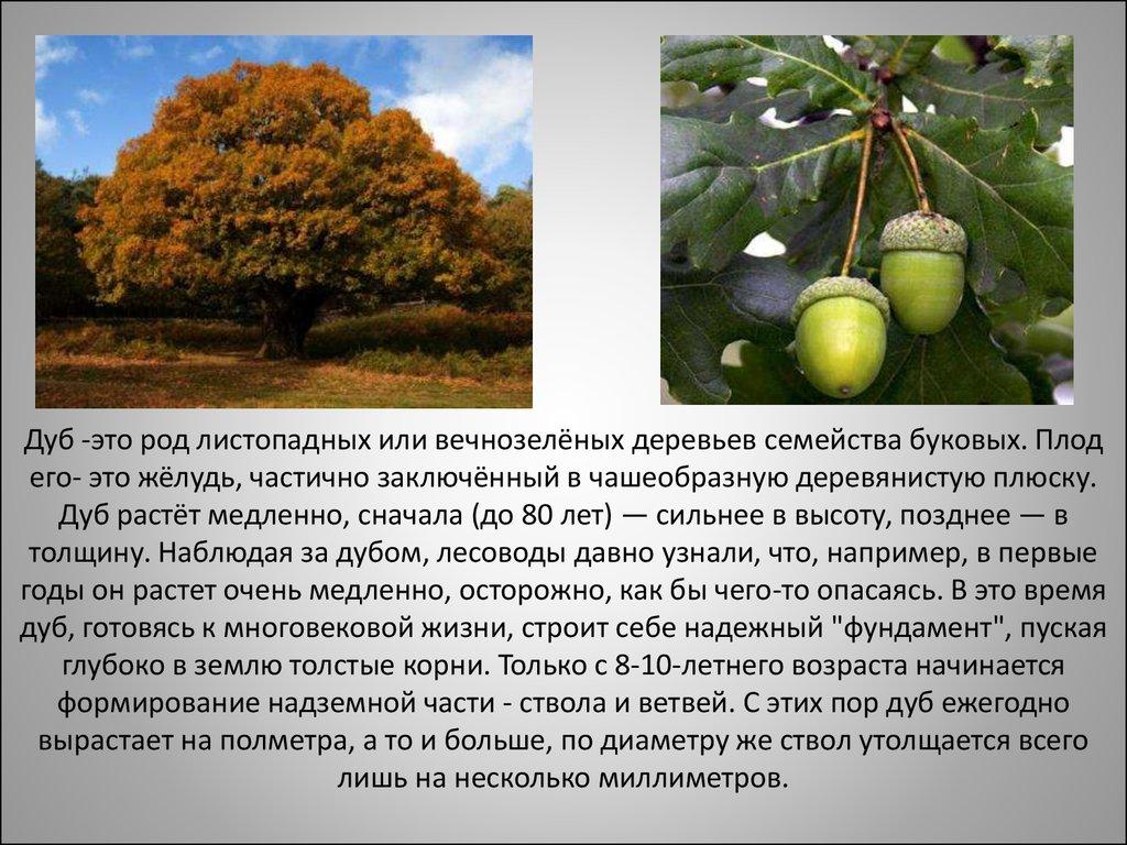 дорогой дуб дерево фото и описание минуту чу-р-ка опять