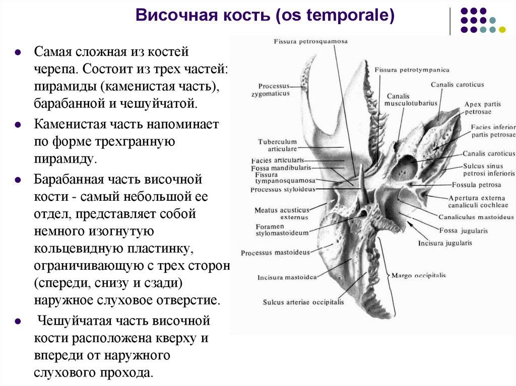 височная кость понятная картинка при