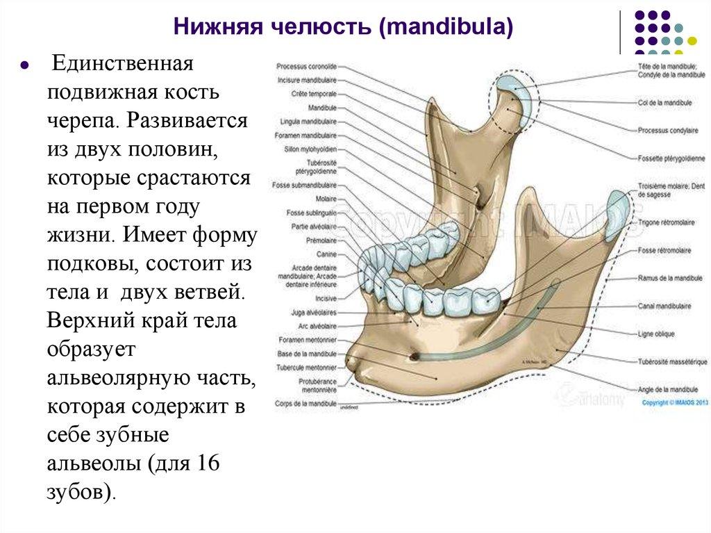 пожеланье строение нижней челюсти человека фото с описанием можете выбрать