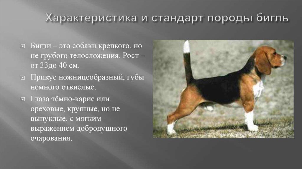 Бигль рост взрослой собаки
