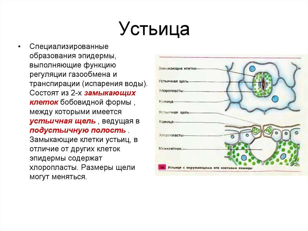 Биология описание и фото устьиц