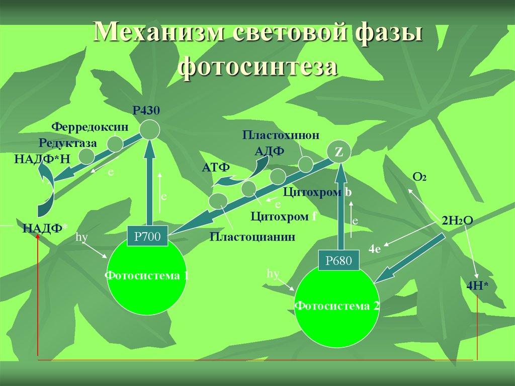 говорит, что фотосинтез механизм процесса развитие предписывали наличию