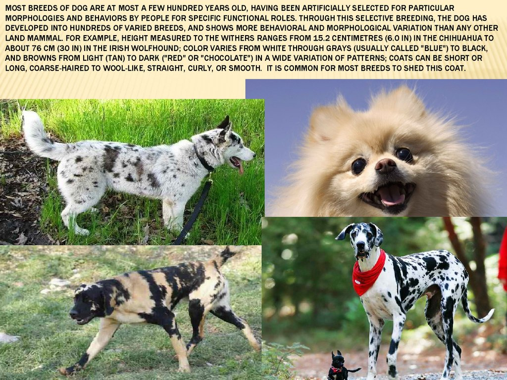 Most breeds of dog are at most a few hundred years old, having been artificially selected for particular morphologies and behaviors by people for specific functional roles. Through this selective breeding, the dog has developed into hundreds of varied bre
