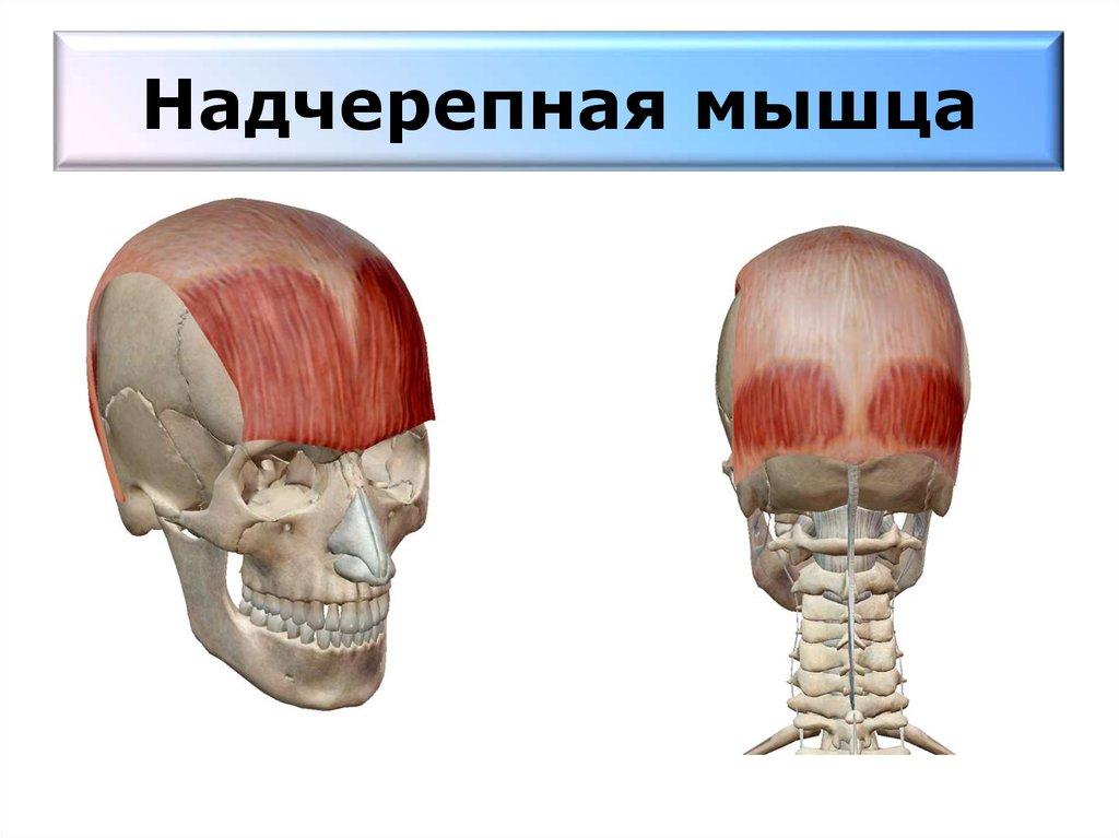 мышцы шеи головы постизометрическая релаксация мышц