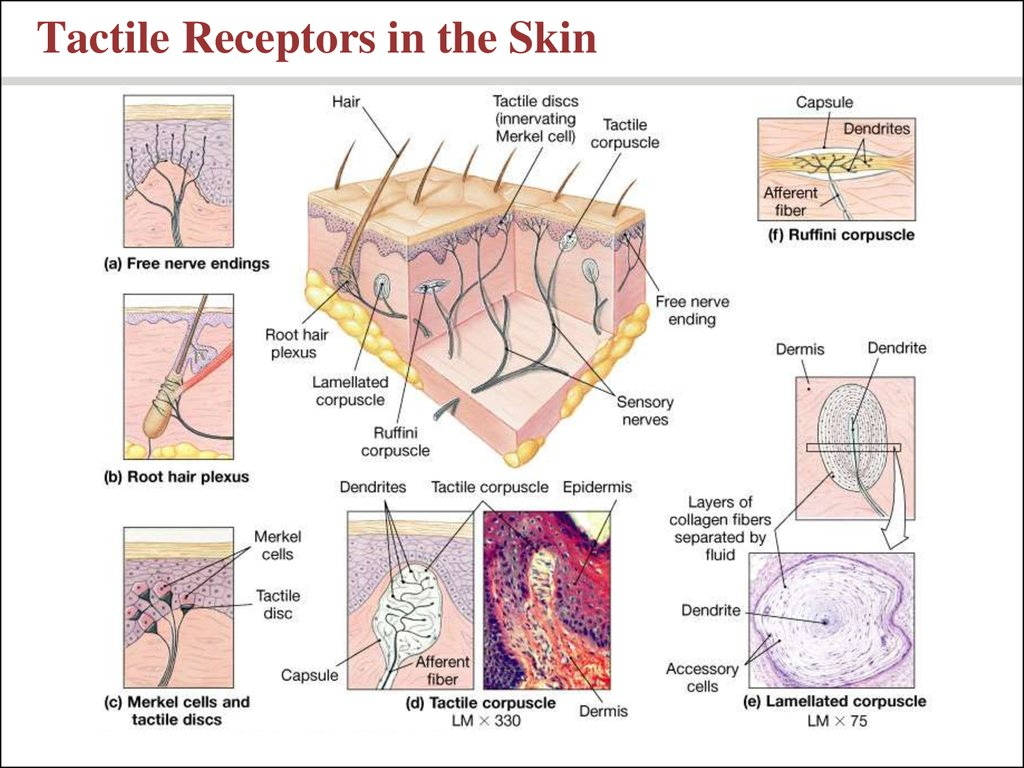 Tactile Receptors in the Skin