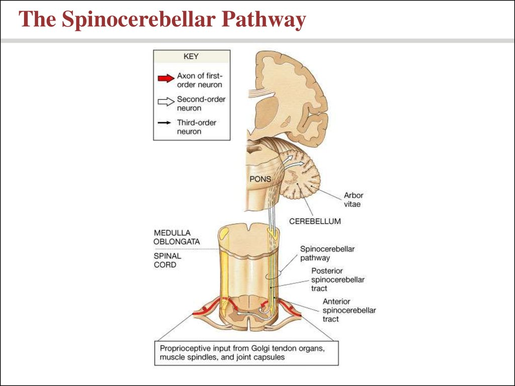 The Spinocerebellar Pathway