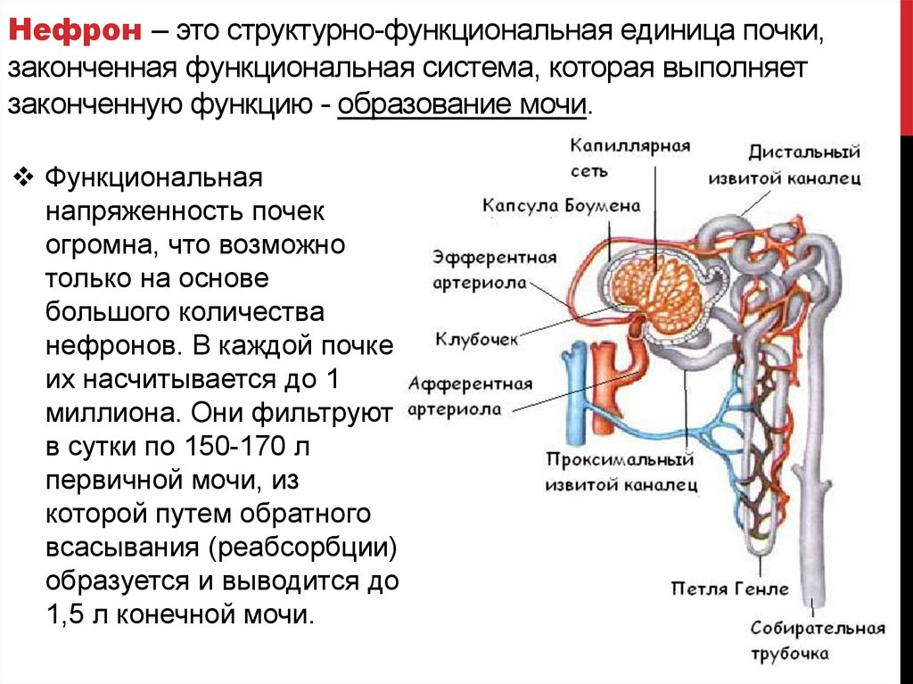 nephron system Renal system - human excretion: the kidney has evolved so as to enable humans to exist on land where water and salts must be conserved, wastes excreted in concentrated form, and the blood and the tissue fluids strictly.