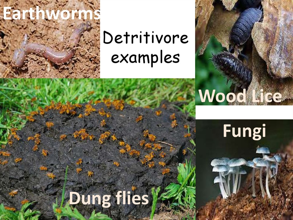 Image result for detritivore examples