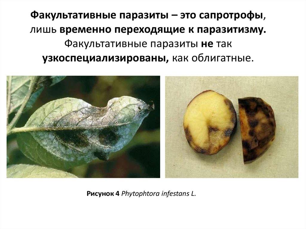 грибы это облигатный паразит