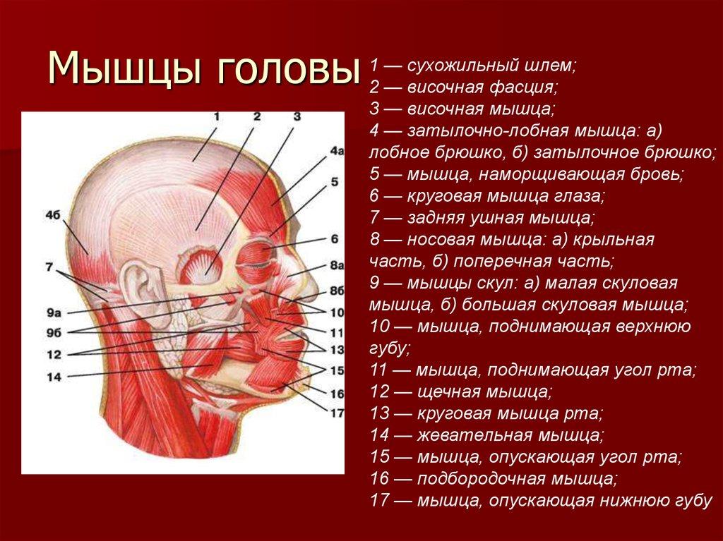 Строение головы человека фото затылок