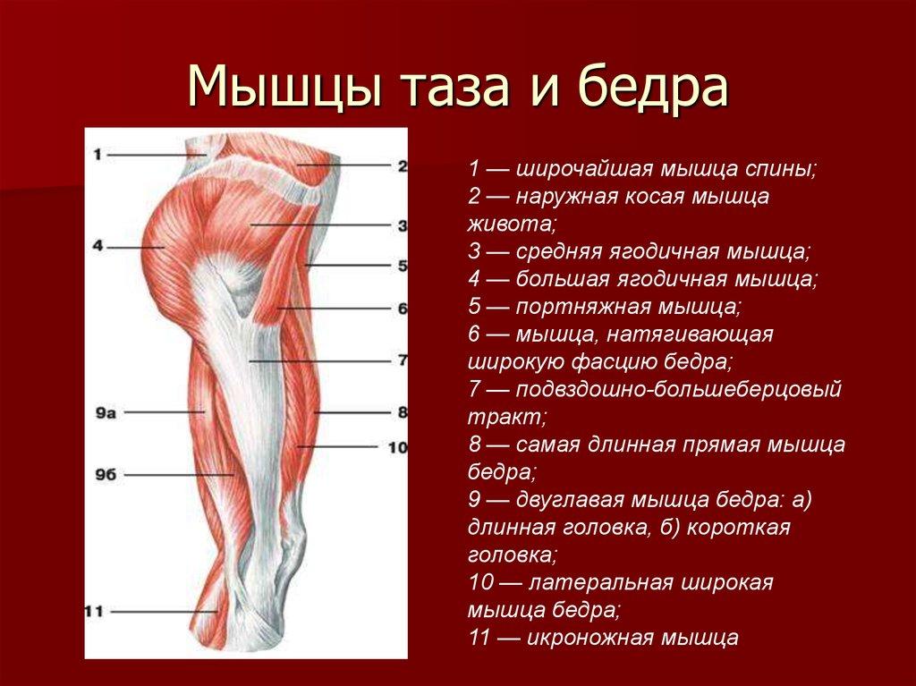Бедро анатомия картинки