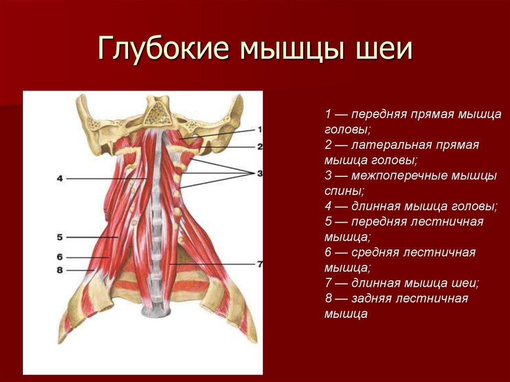 мышцы шеи фото с описанием и схемами сброса заводский
