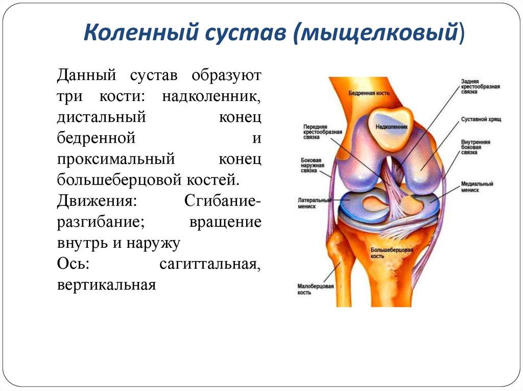 анатомия картинки сустава череповец