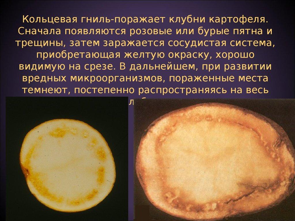 Болезни картофеля при хранении
