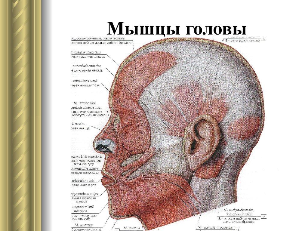 картинки мышц головы как это классический