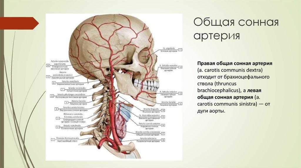съемочной картинки общая сонная артерия вот