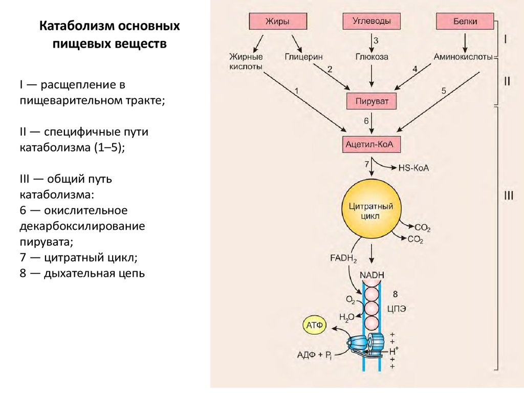 Углеводный тип метаболизма диета
