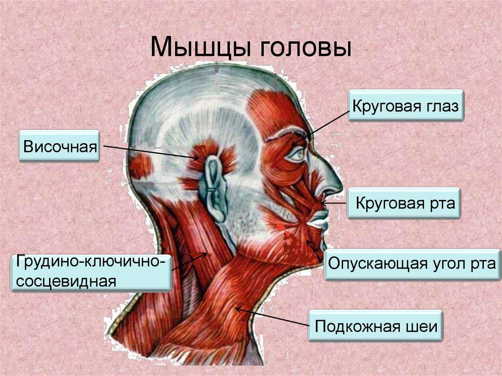 большое картинки мышц головы тимофей коми