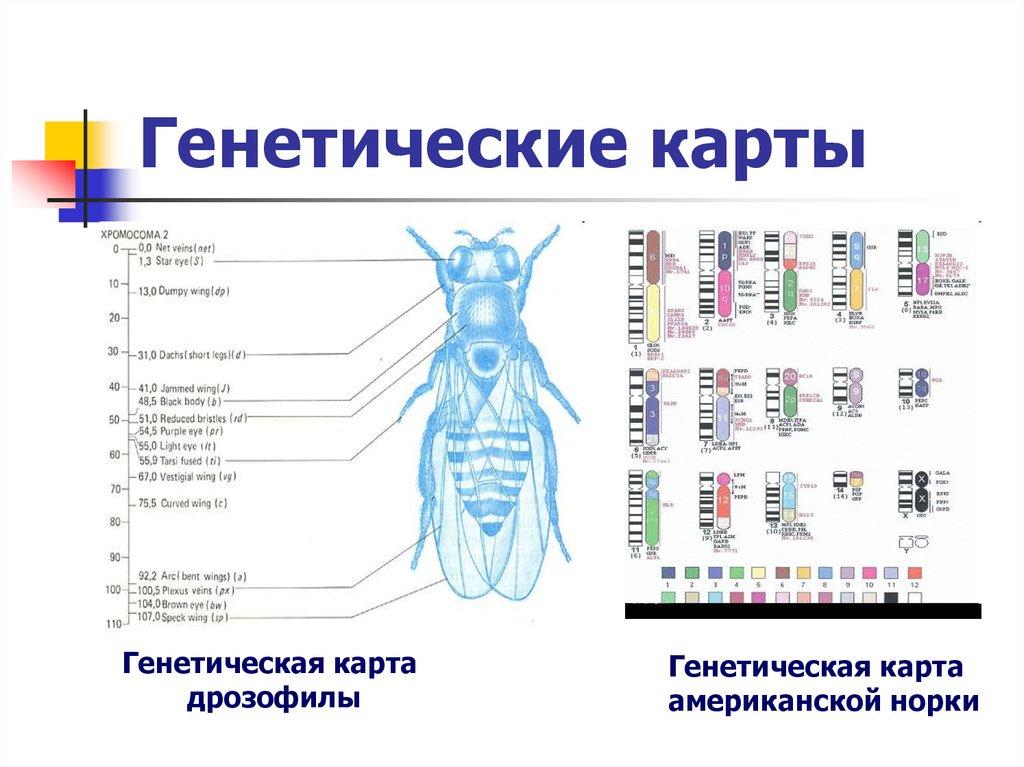 Как строятся генетические карты хромосом