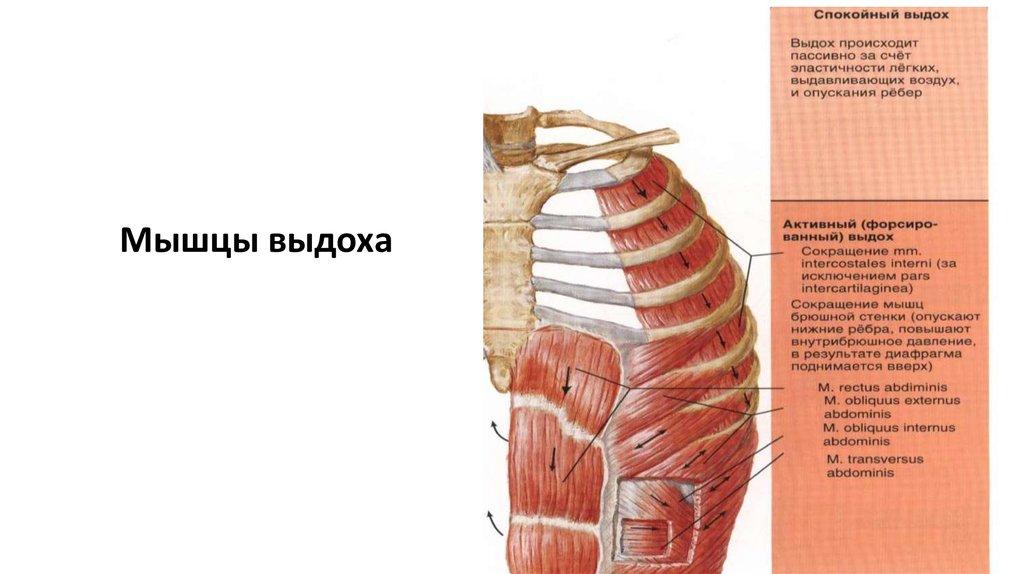 Ausgezeichnet Quer Abdominis Anatomie Fotos - Anatomie Ideen ...