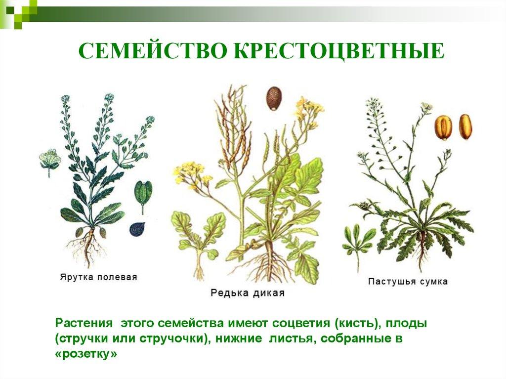 Семейство крестоцветные капустные картинки