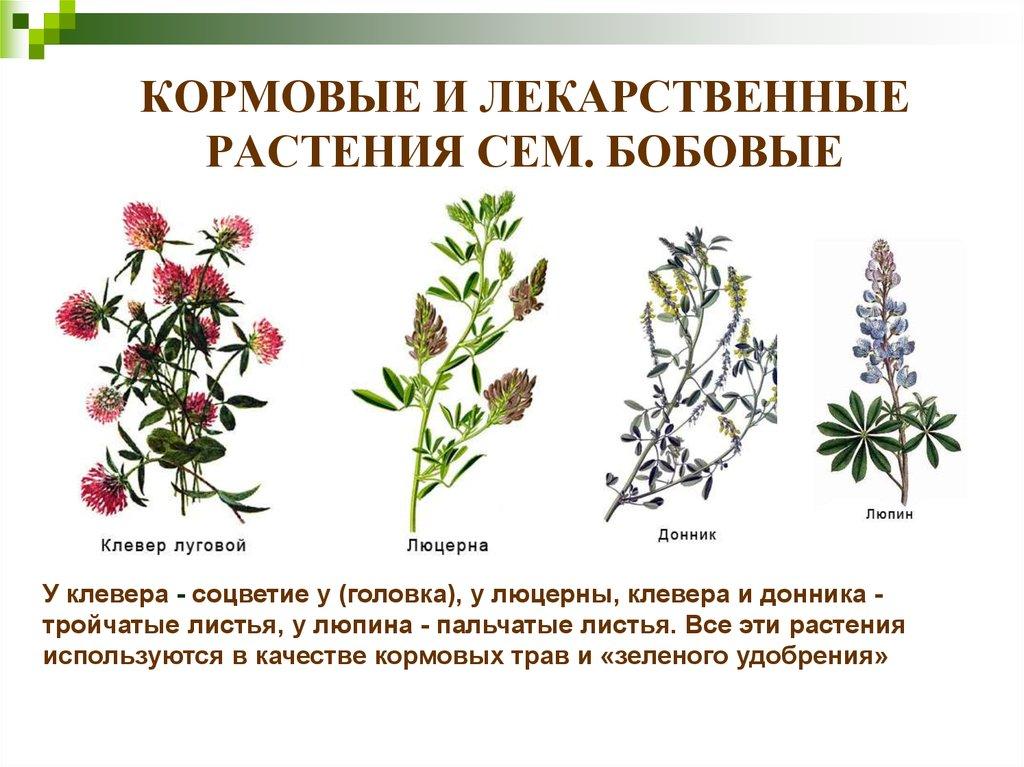 этому бобовые растения названия список следствие