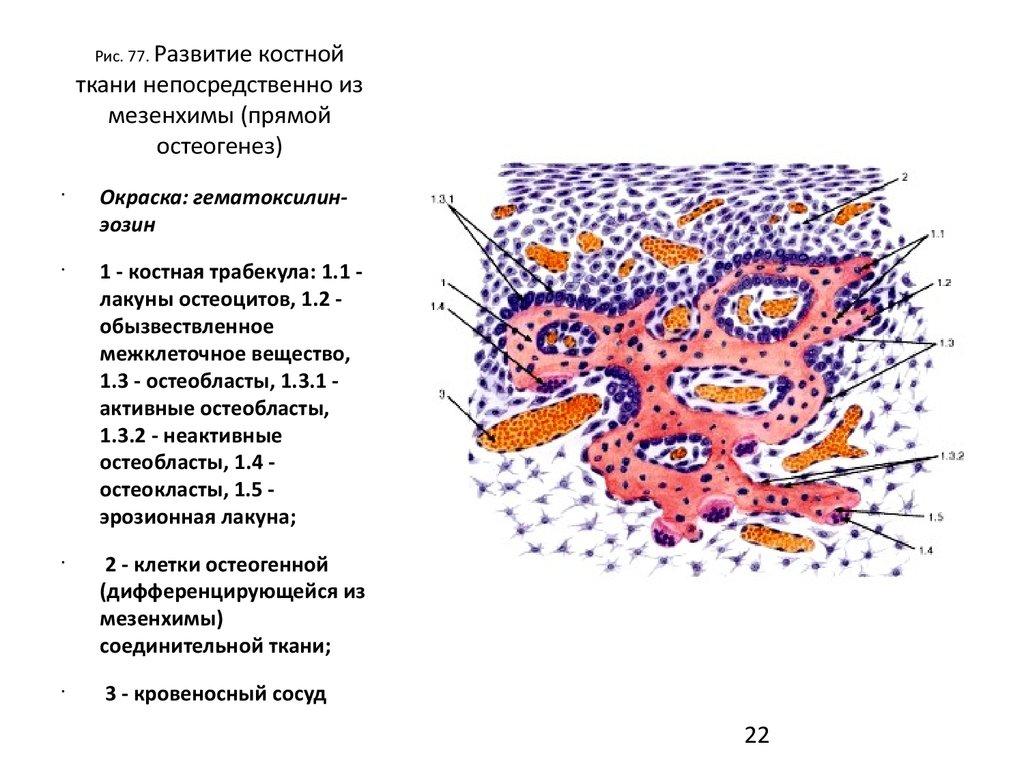 прямой остеогенез костной ткани