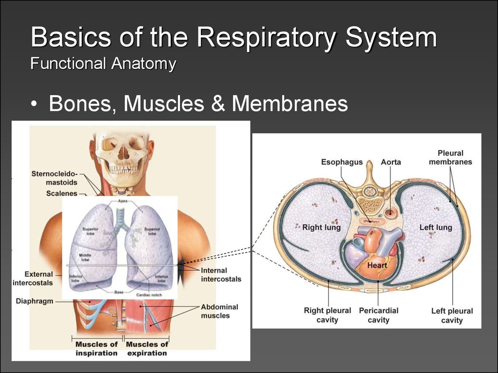 respiratory physiology tutorial The first 4 chapters will cover basic physiology and pathophysiology with an emphasis on the campbell and guyton diagrams the remaining 4 chapters will focus on clinically-relevant topics in the intensive care unit the discussions will be largely drawn from the physiology covered in the first half of the textbook.