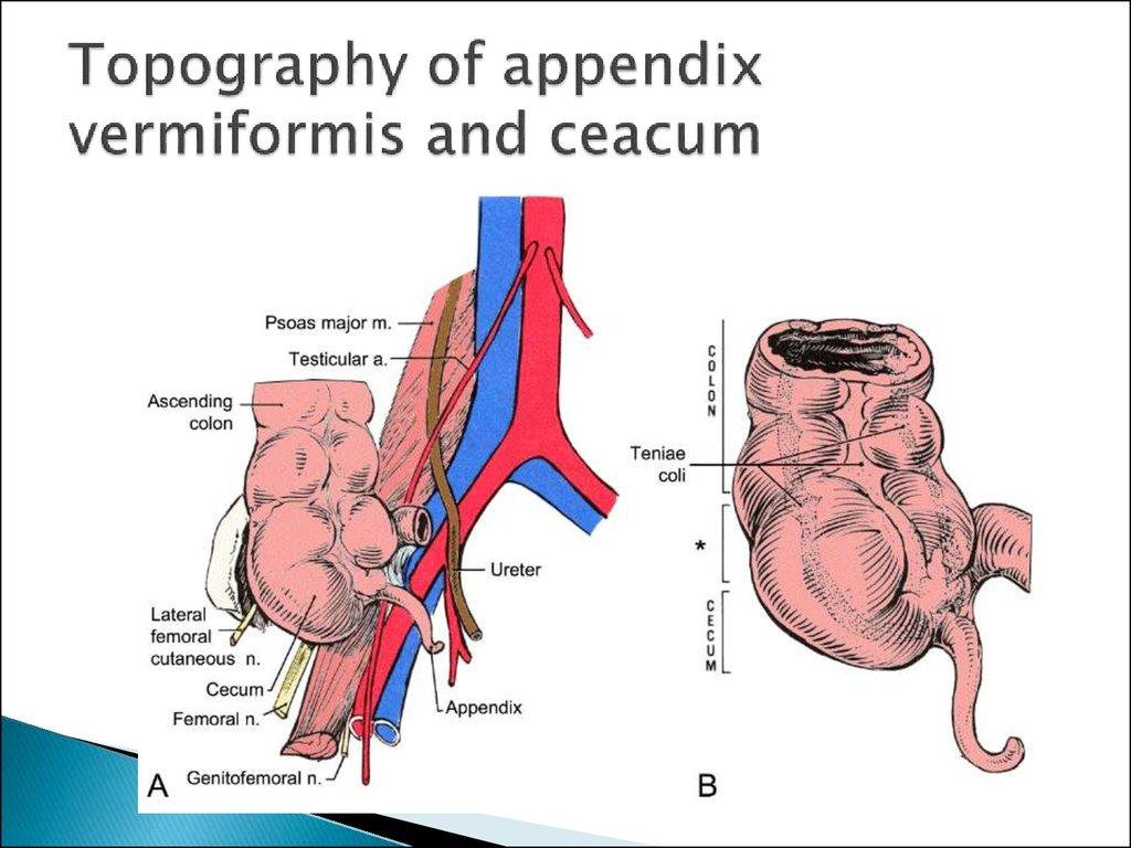 Clinical anatomy of abdominal cavity - презентация онлайн